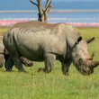 Rhinoceros in the wild - Foto Stock