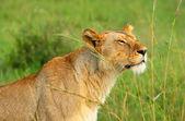 Vilda afrikanska lejoninna — Stockfoto