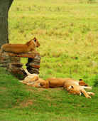 Sleeping lions — Stock Photo