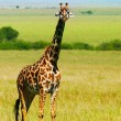 Big wild african giraffe - Stock Photo
