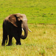 Stock Photo: Big wild africelephant