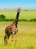 Big wild african giraffe — Stock Photo