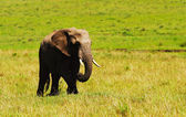 Big wild african elephant — Stock Photo