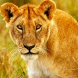 Stock Photo: Beautiful wild africlioness