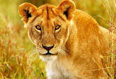 Beautiful wild african lioness — Stock Photo