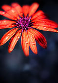 Red wet flower head — Stock Photo
