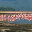 Flocks of flamingo - Stock Photo