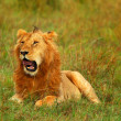 Young wild african lion - Stockfoto