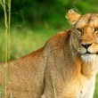 Beautiful wild africam lioness — Stock Photo