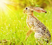 Wild african hare — Stock Photo