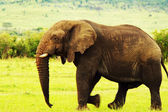 African wild elephant — Stock Photo