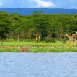 Family of wild giraffes — Stock Photo #7151412