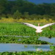 Flying great white pelican - Stock Photo