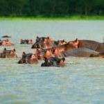 Hippos — Stock Photo