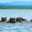 Hippos — Stock Photo #7151590