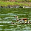 Goose with new borne family - Stock Photo