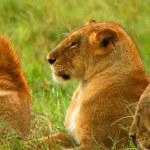 Постер, плакат: Wild African Lioness