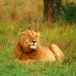 Portrait of young wild african lion — Stock Photo