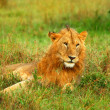Portrait of young wild african lion — Stock Photo #7151944