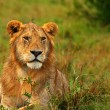 Portrait of young wild african lion — Stock Photo #7152013