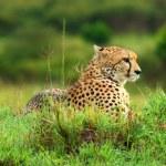Wild african cheetah — Stock Photo