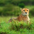 Wild african cheetah — Stock Photo