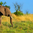 African Elephant in the wild — Stock Photo