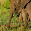 African Elephant in the wild — Stock Photo #7152249