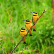 Tree Bee Eaters on the branch - Stock Photo