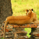 Постер, плакат: Wild africam lioness