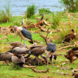 Vultures and Mararou stork - Stock Photo