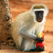 Portrait of wild hungry monkey — Stock Photo