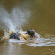 Two hippos' fight — Stock Photo #7152626
