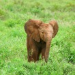Stock Photo: Baby Elephant in the wild