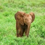 Baby Elephant in the wild — Stock Photo