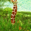 Giraffe in the wild — Stock Photo #7152813