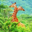 Family of giraffes — Stock Photo #7152855
