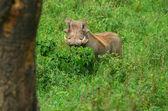 Retrato de jabalí en el bosque — Foto de Stock