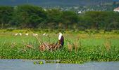 Afrika balık kartalı — Stok fotoğraf