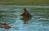 Hippos in the lake — Stock Photo