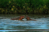 Two hippos' fight — Stock Photo