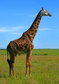 野生非洲长颈鹿 — 图库照片