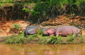 Sleeping hippos — Stock Photo