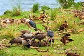 Vultures and Mararou stork — Stock Photo
