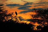 Marabou stork sleeping on the tree branch — Stock Photo