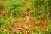 Dik Dik in the wild. — Stock Photo