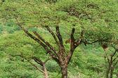 Leopard op de boom — Stockfoto