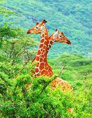Family of giraffes — Stock Photo