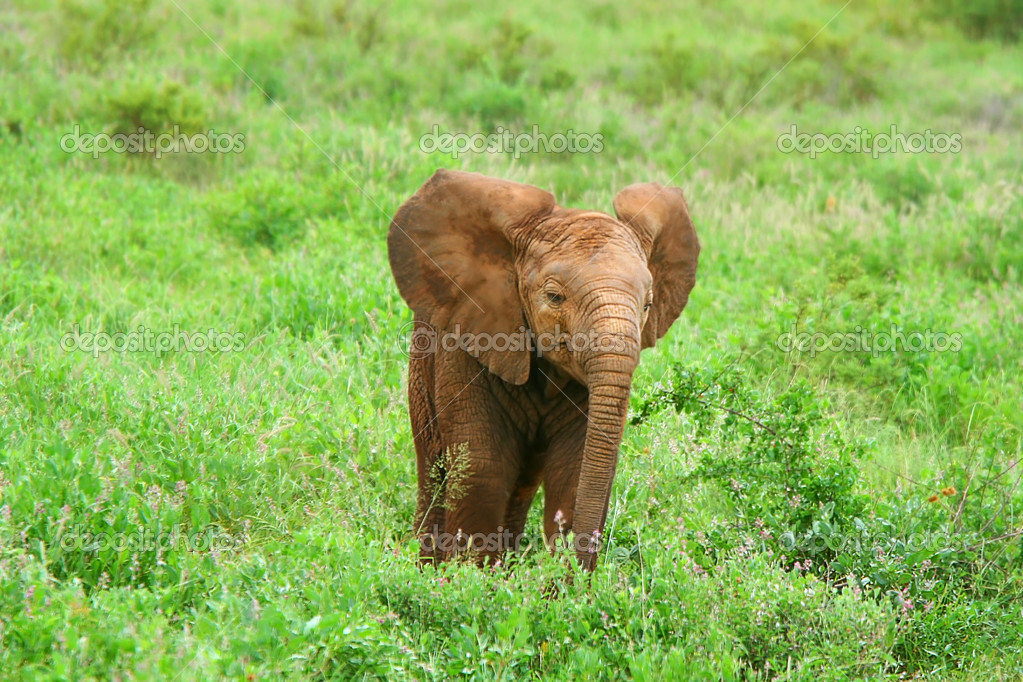 Baby Elephant in the wild. Kenya. Samburu national park. — Stock Photo #7152800