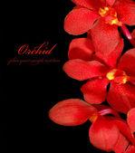 Red orchid — Zdjęcie stockowe